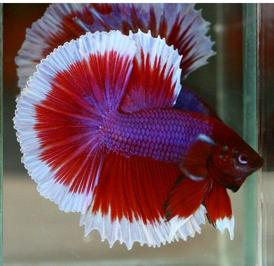 Colors patterns for Betta fish colors