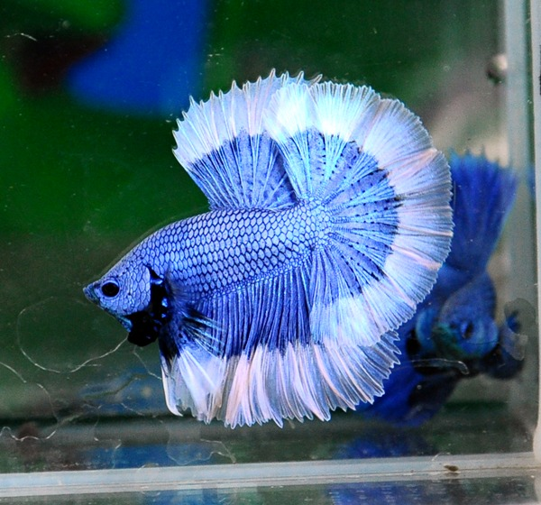 Colors patterns for Best water for betta fish