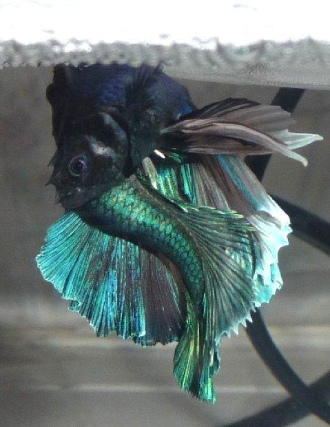 Breeding for Betta fish mating