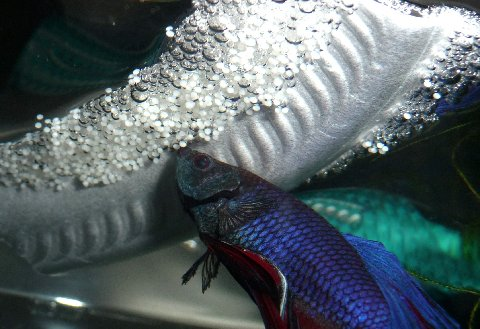 Betta fish eggs hatch