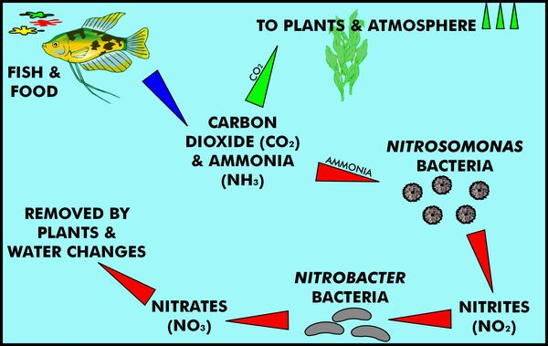 Home sweet home bettasource every tank goes through something called the nitrogen cycle the nitrogen cycle is going to affect your water quality on a daily basis ccuart Image collections