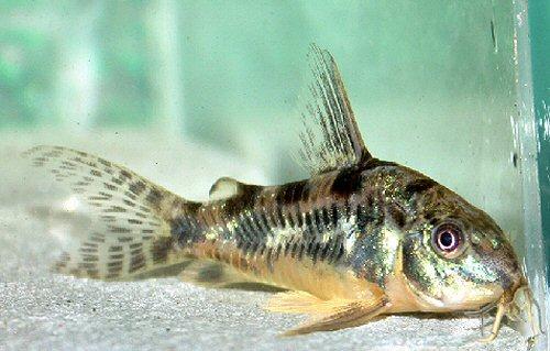 Home sweet home for Bottom feeder aquarium fish