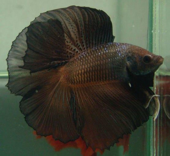 Acquiring breeding stock for Betta fish mating