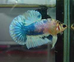 how to breed betta fish fast