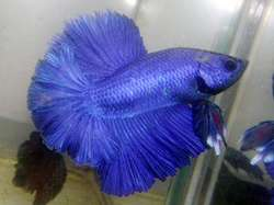 Blue mask HM male - Breeder unknown