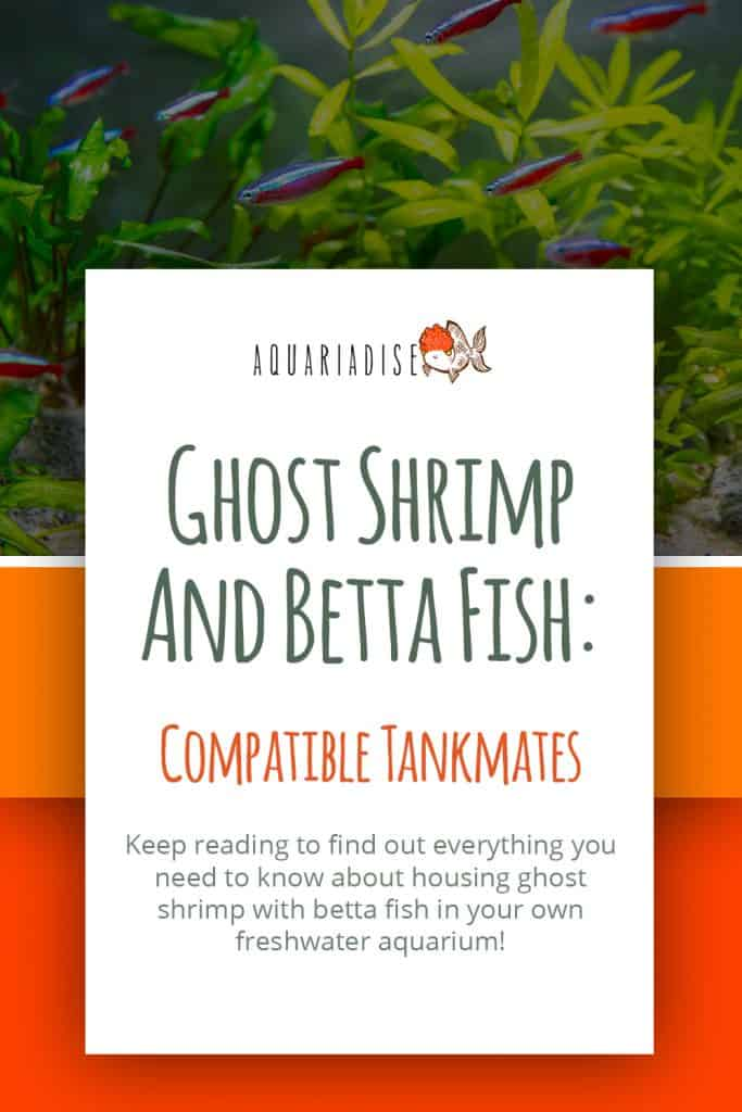 Ghost Shrimp and Betta Fish
