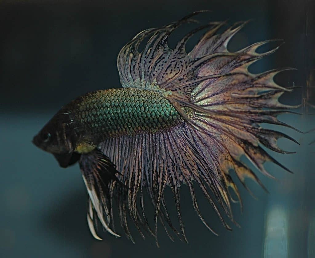 metallic betta