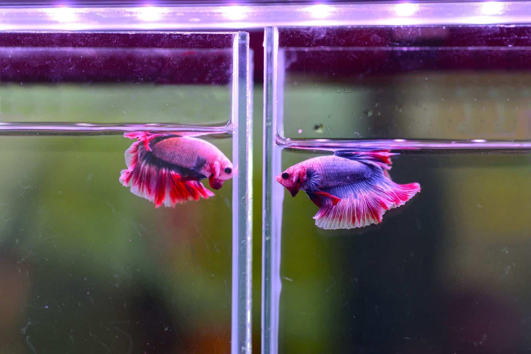 Betta Divider Aquarium