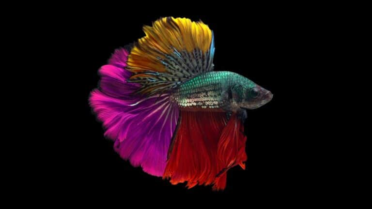Betta Fish Colors