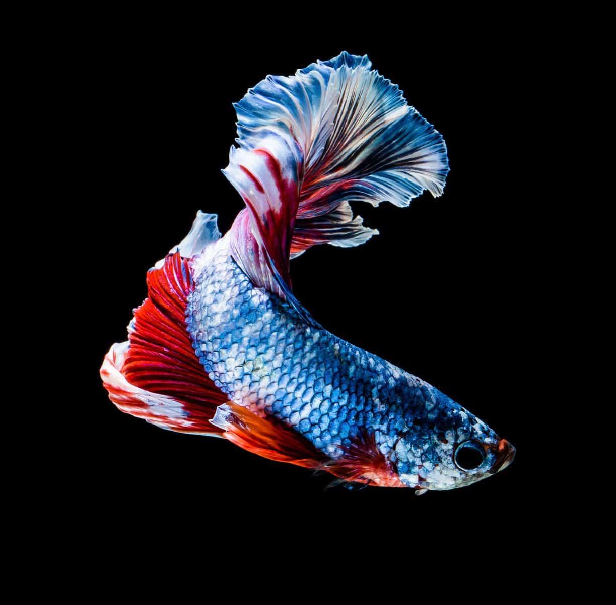 Betta Fish Swimming in Circles