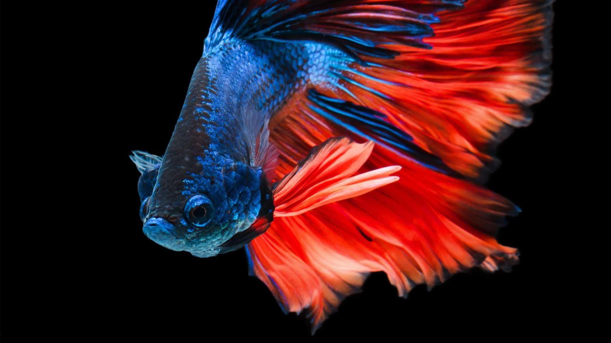 Betta Fish with Graphite Disease