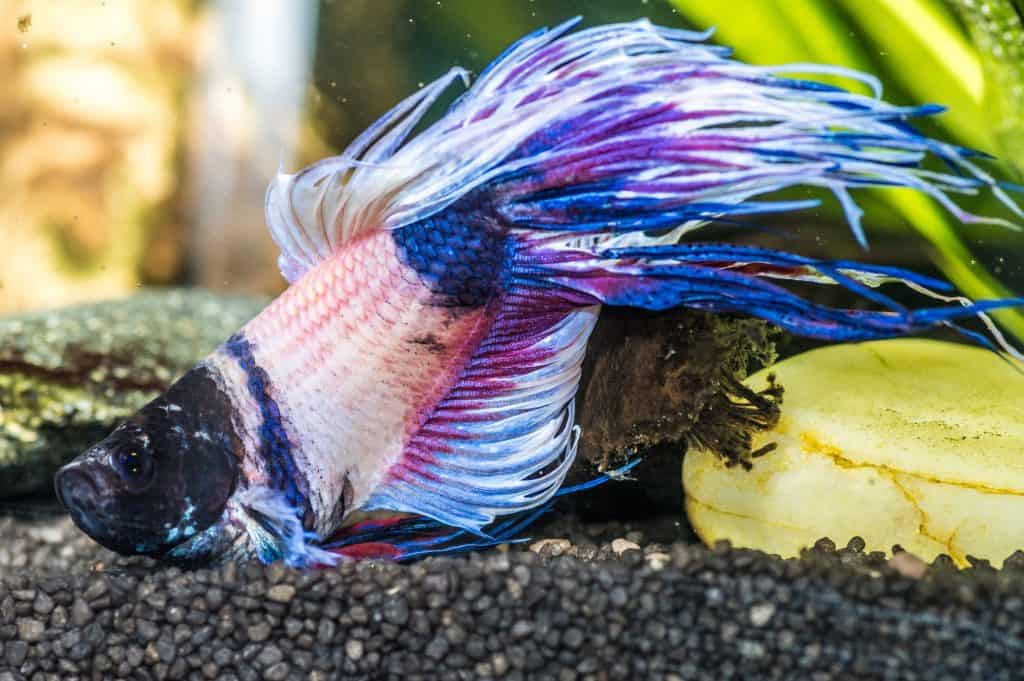 can betta fish have seizures