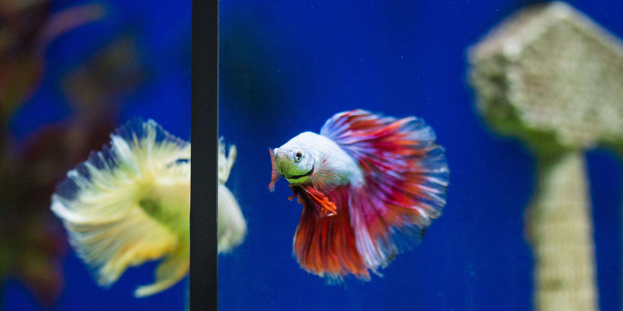 Betta flashing while leaning on wall