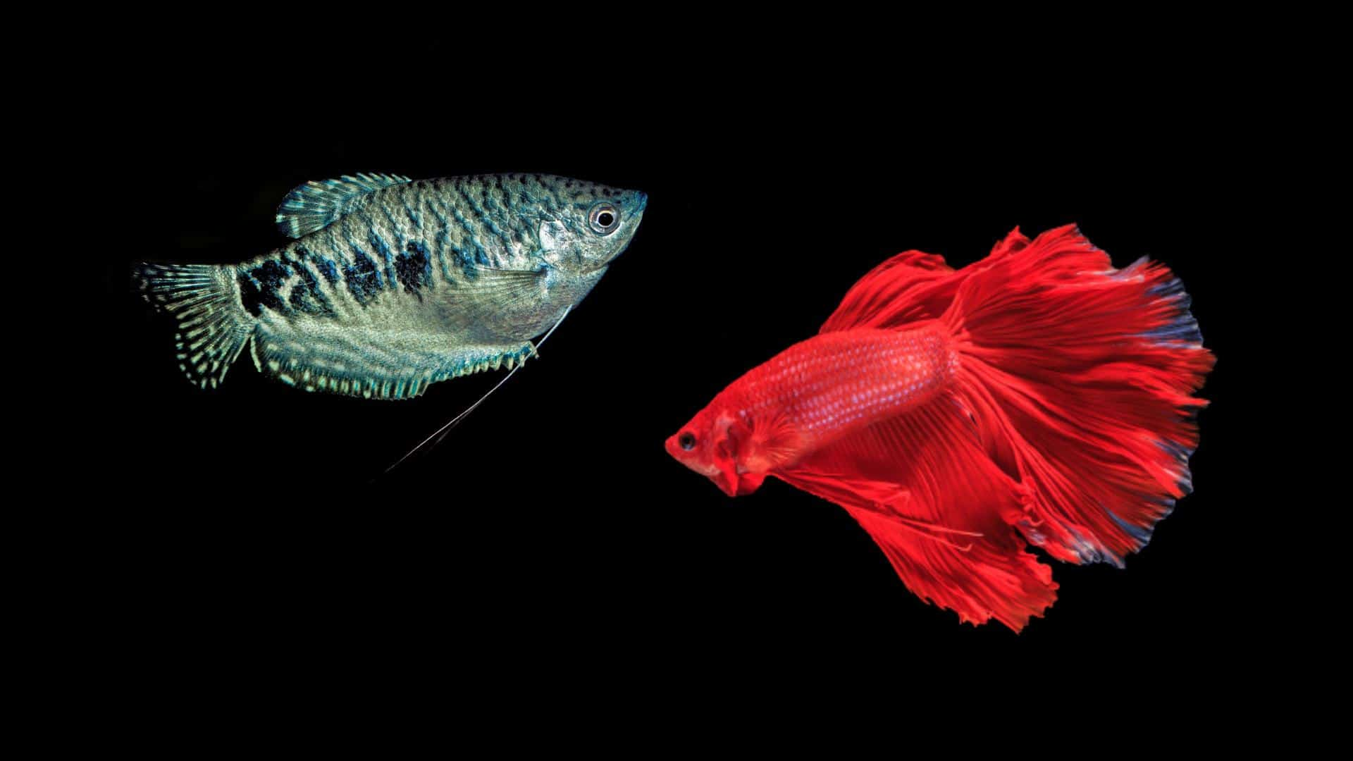 Blue Gourami And Betta Fish