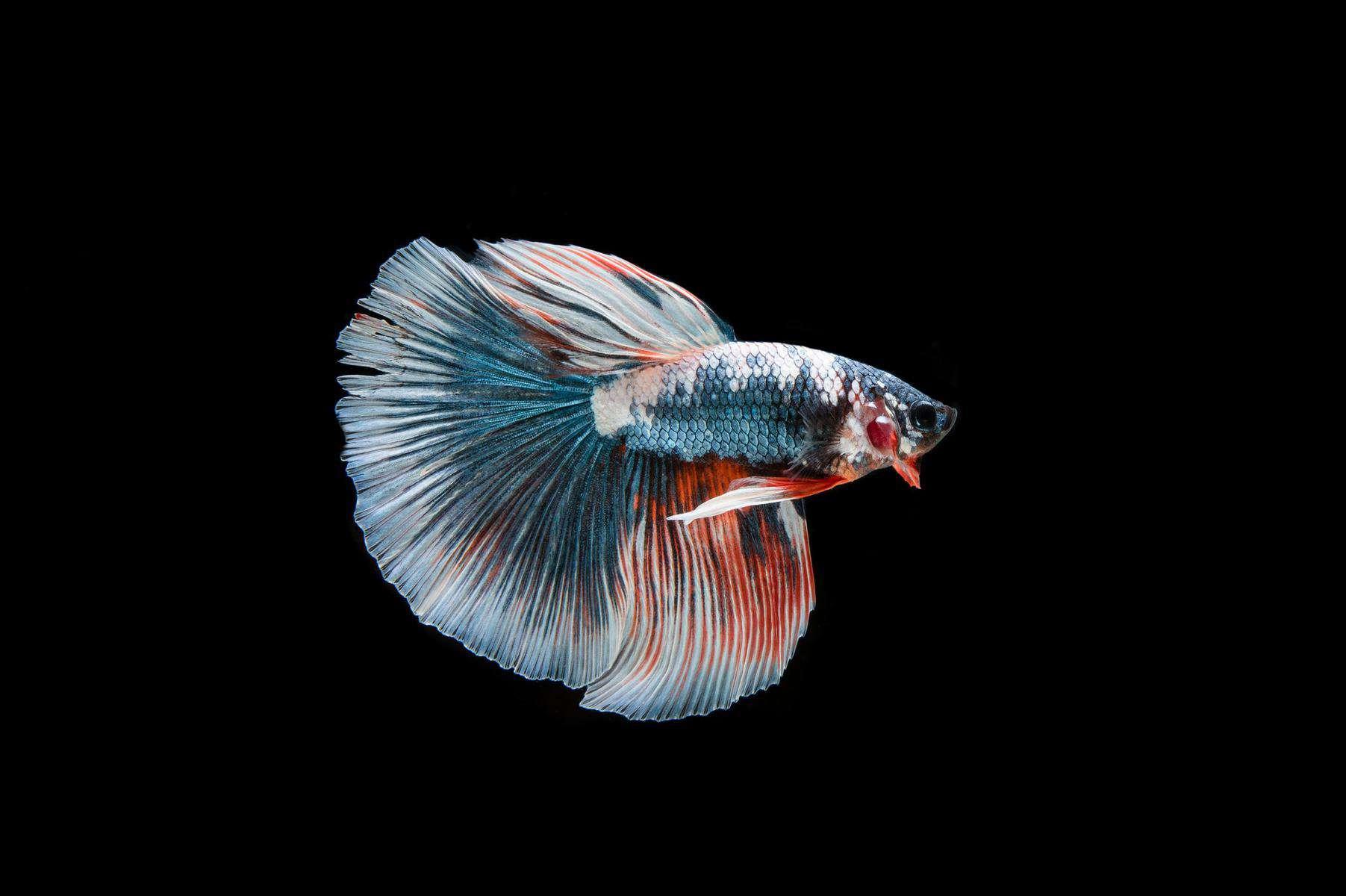 Bullet Betta Fish