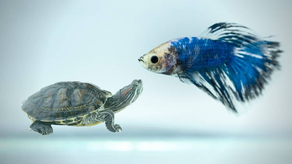 Can Betta Fish Live With Turtles