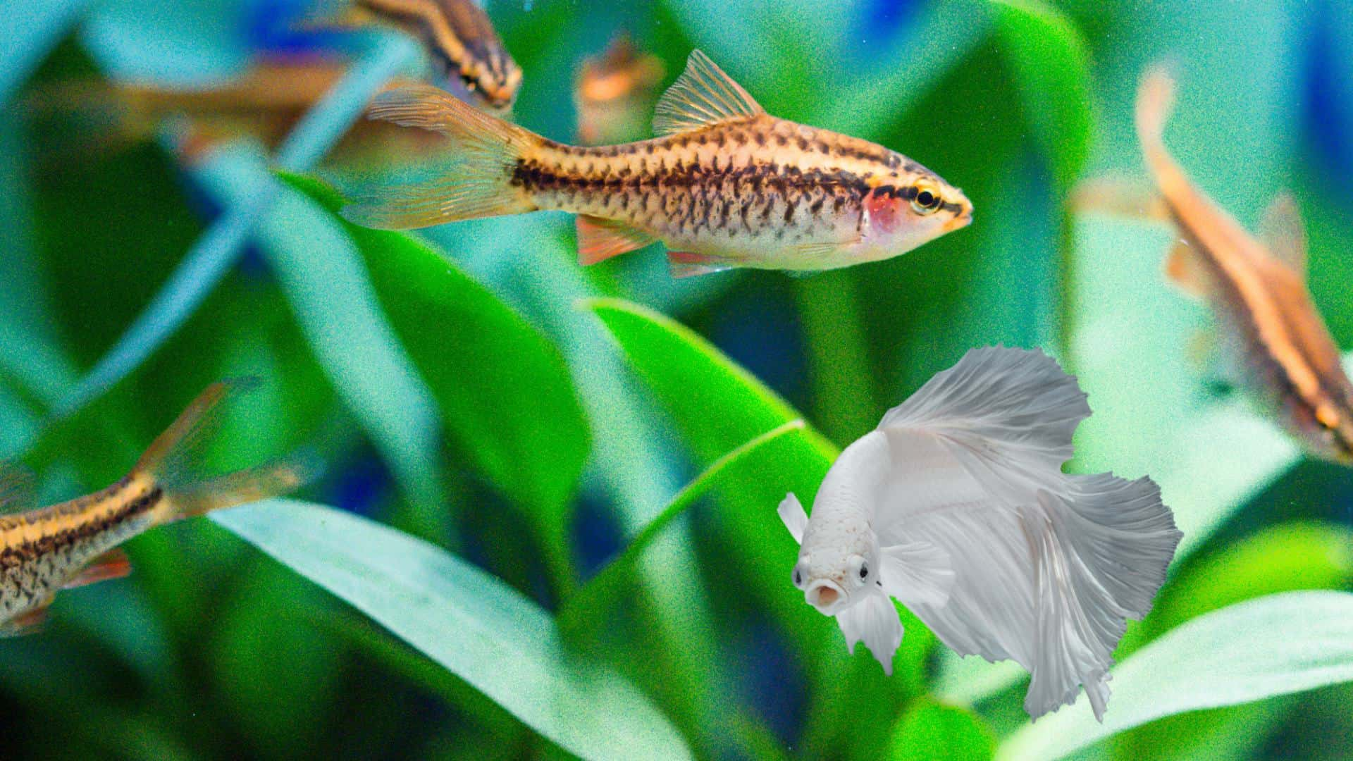 Cherry Barbs And Betta Fish In Aquarium