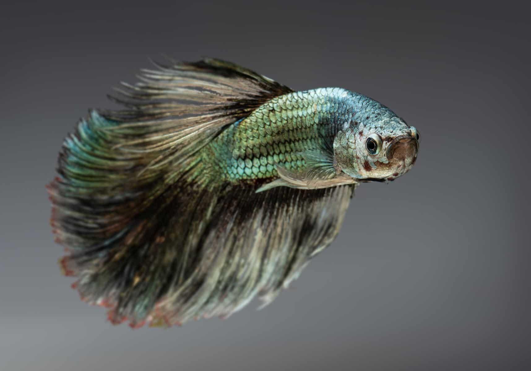 Copper Betta Fish