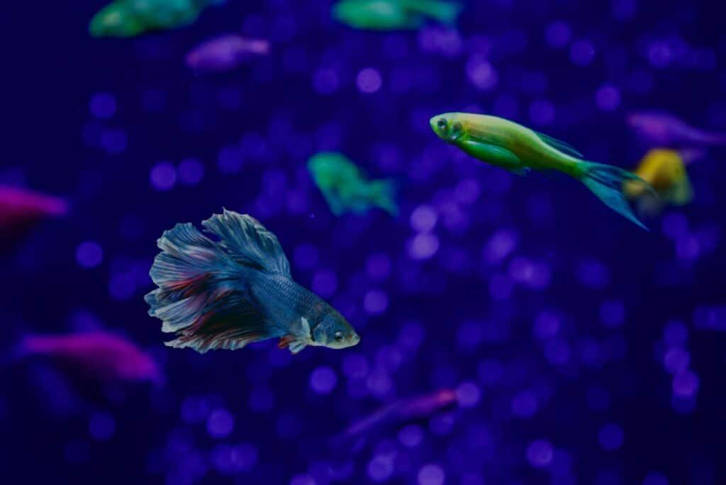 Glofish And Betta