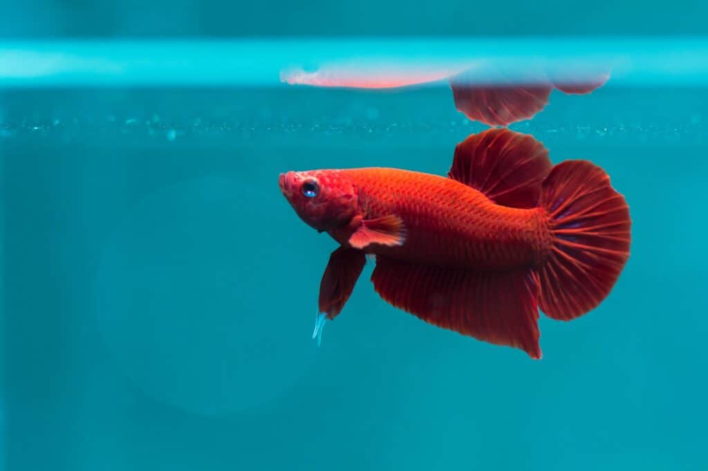 How To Train A Betta Fish