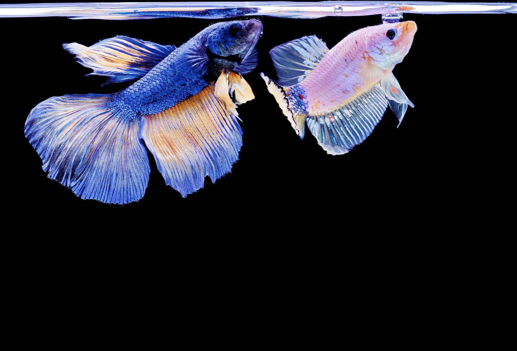 Male And Female Betta Fish Together In Aquarium
