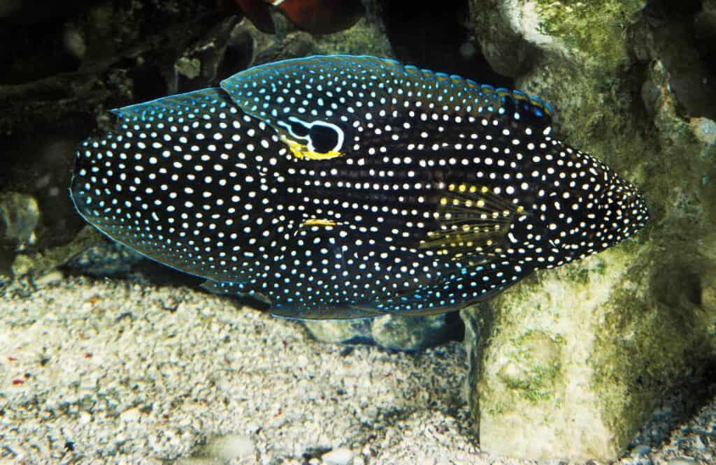 Marine Betta Reef Safe