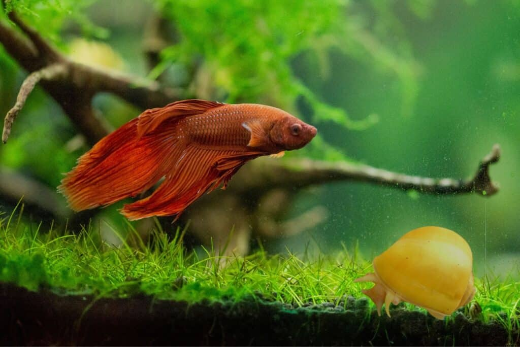 Mystery Snail And Betta