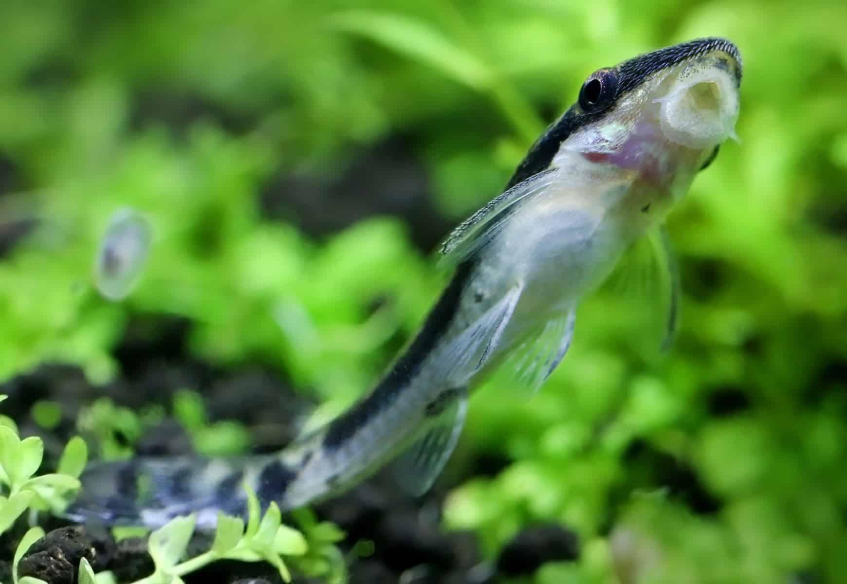 Otocinclus Catfish