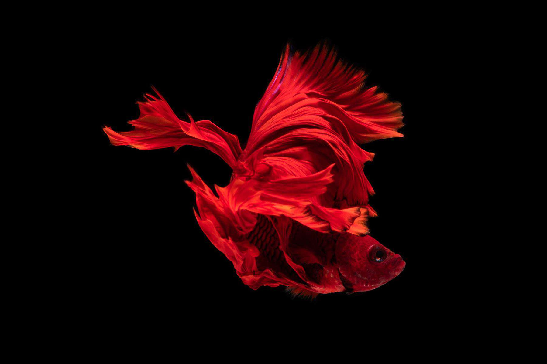 Red Betta Fish Swimming In Circles