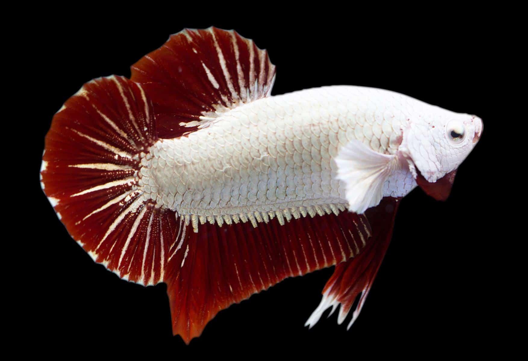 Red Dragon Betta Fish