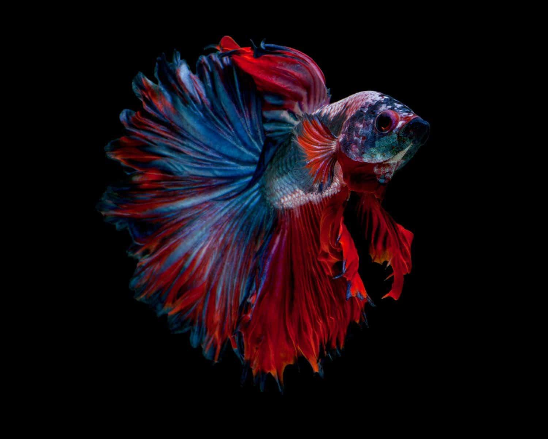Rosetail Betta Fish
