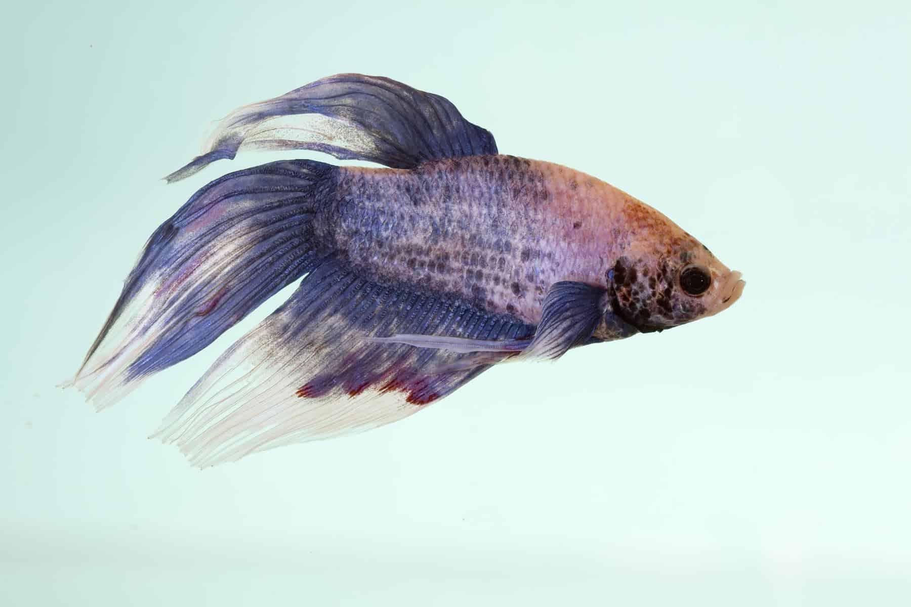 Septicemia In Betta Fish