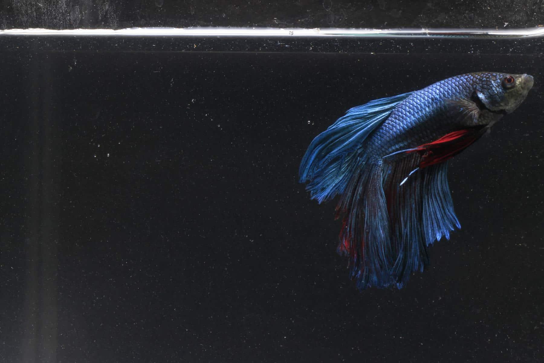 Sick Betta Fish In Aquarium