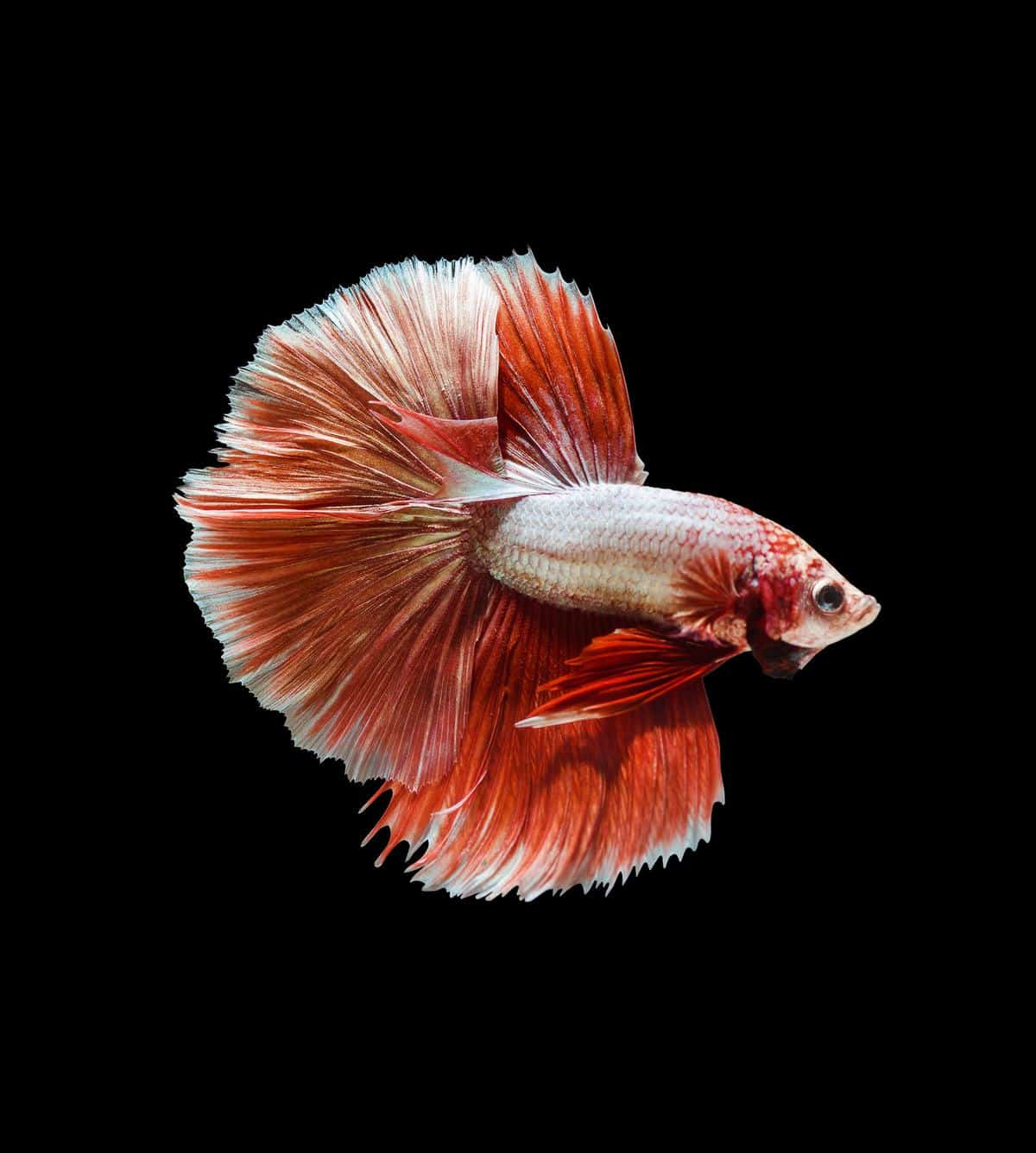 Spoonhead Betta Fish in black background