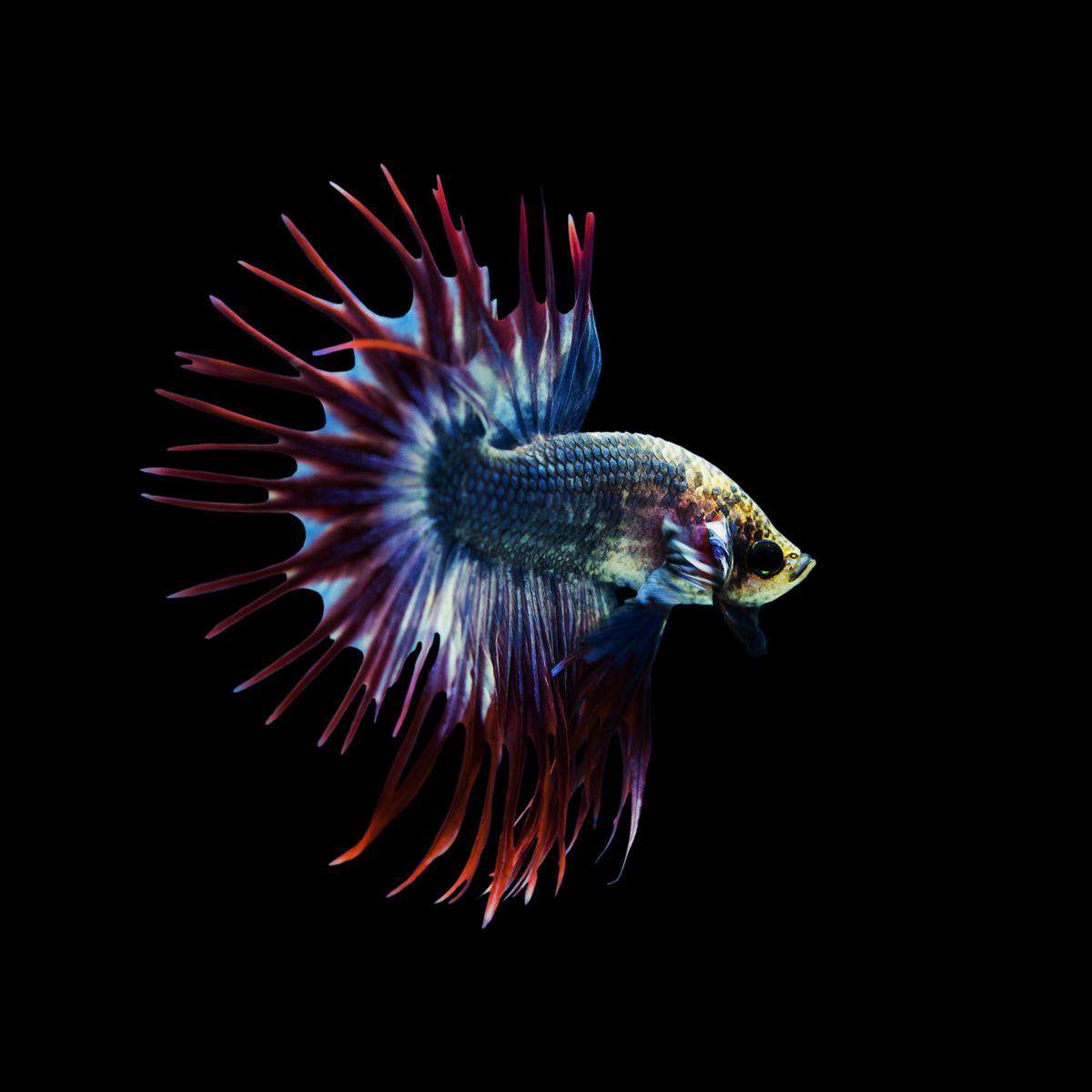 Spoonhead Betta Fish