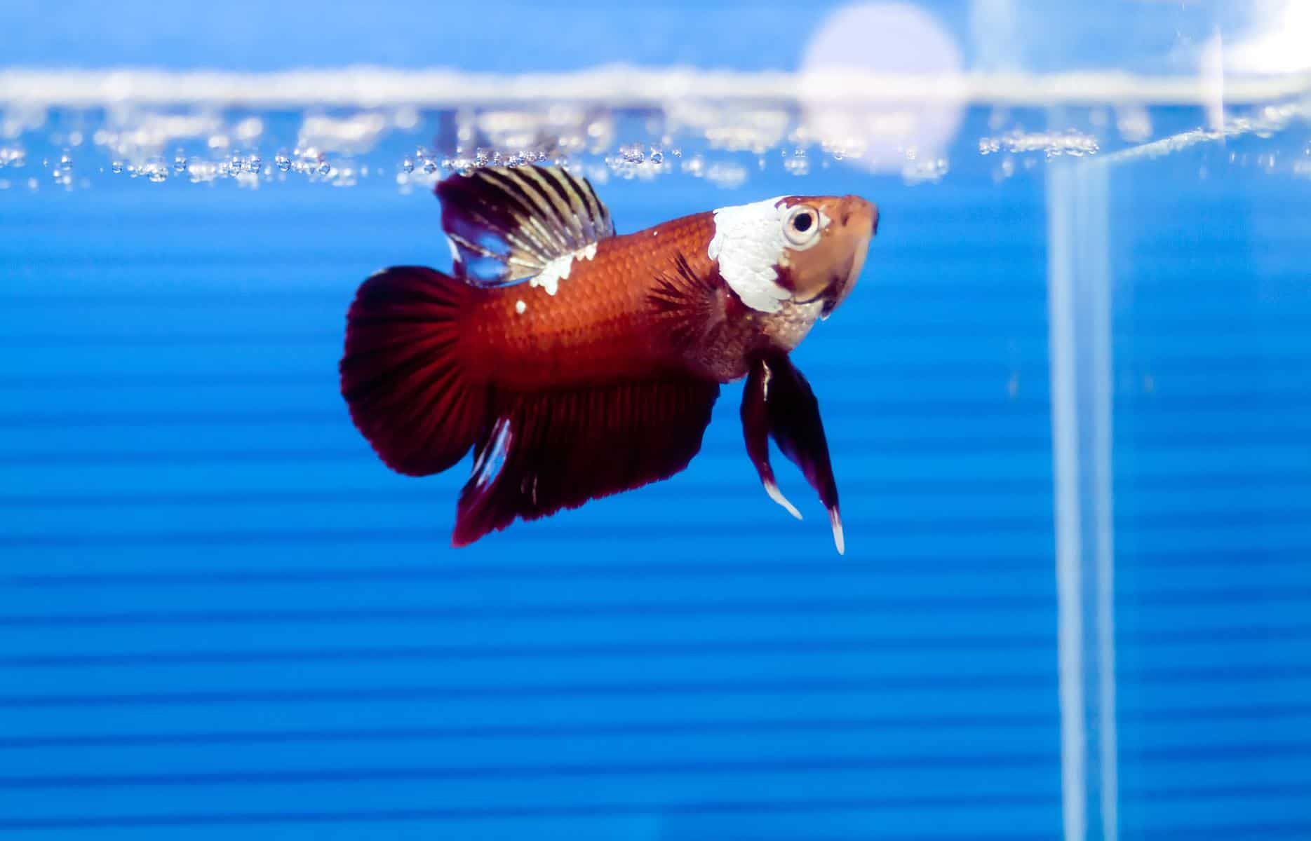 Betta In Aquarium With Tetracycline
