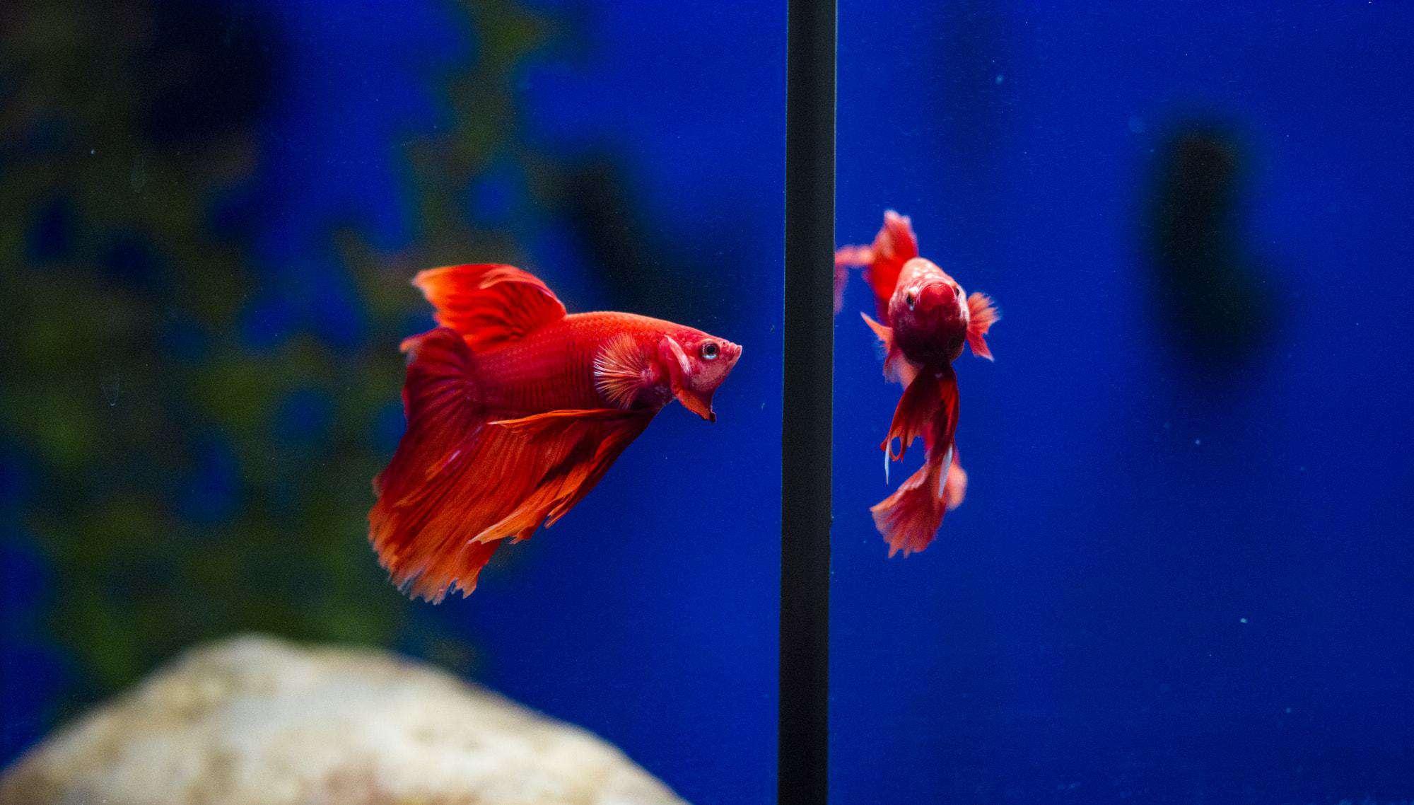 Training Betta Fish