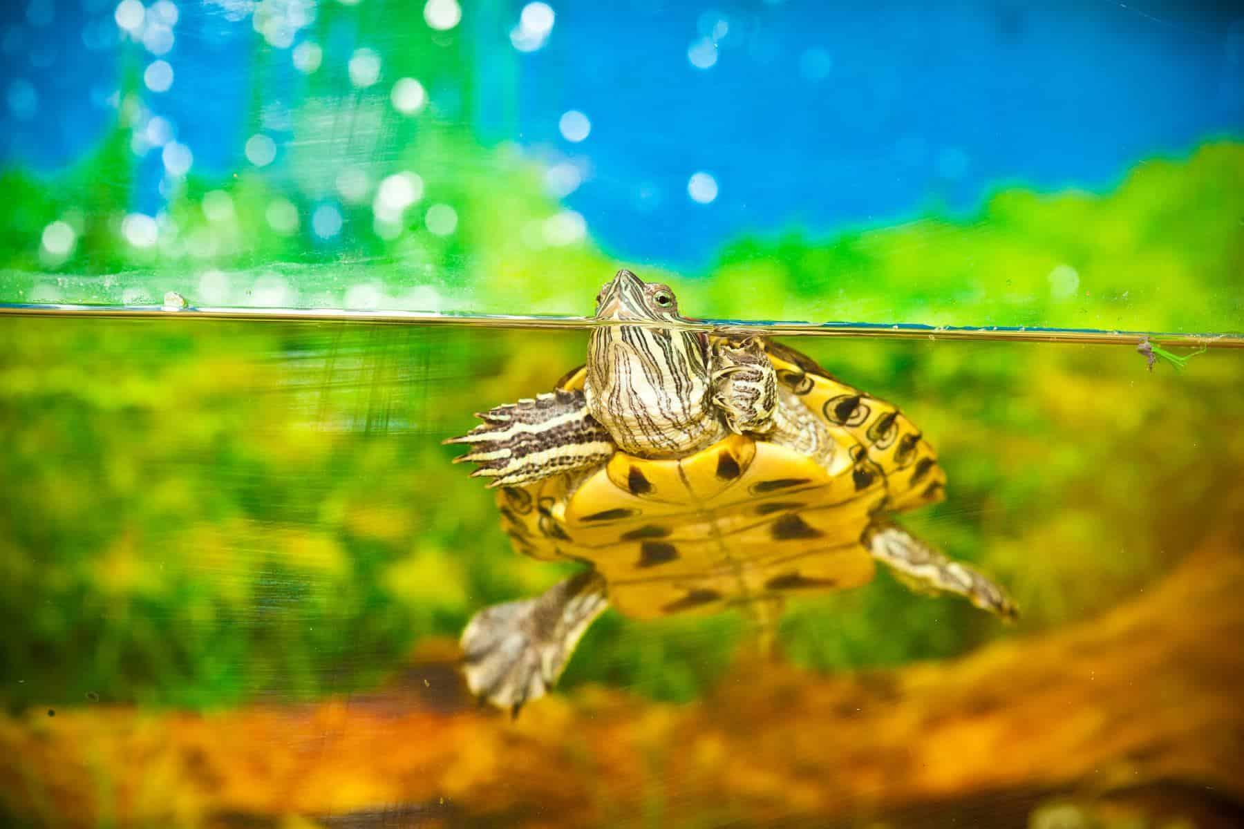 Turtle in aquarium