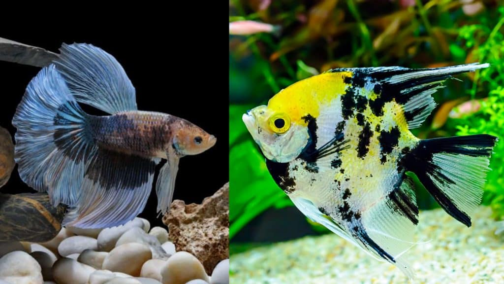angelfish and betta fish