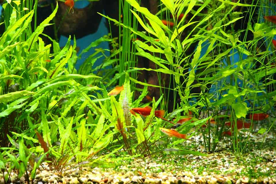 aquatic plants and fish in an aquarium