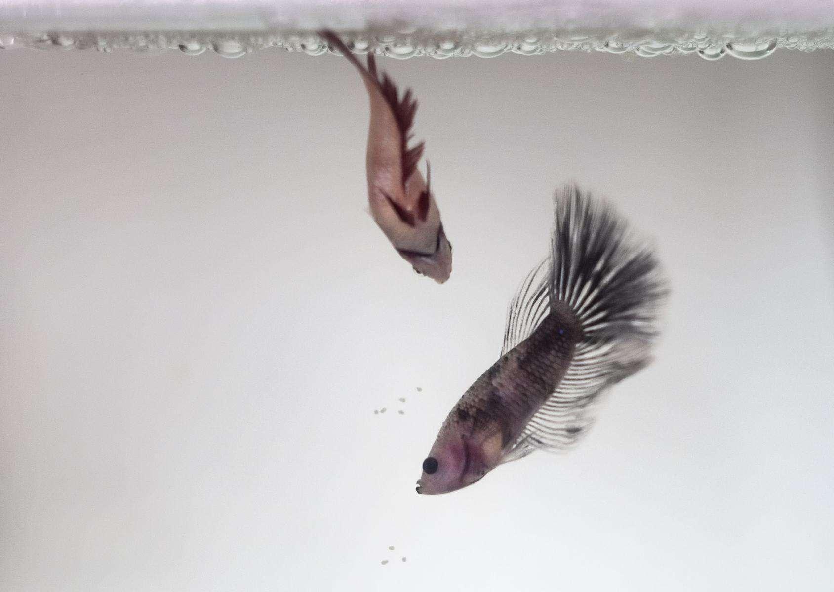 betta fish dancing