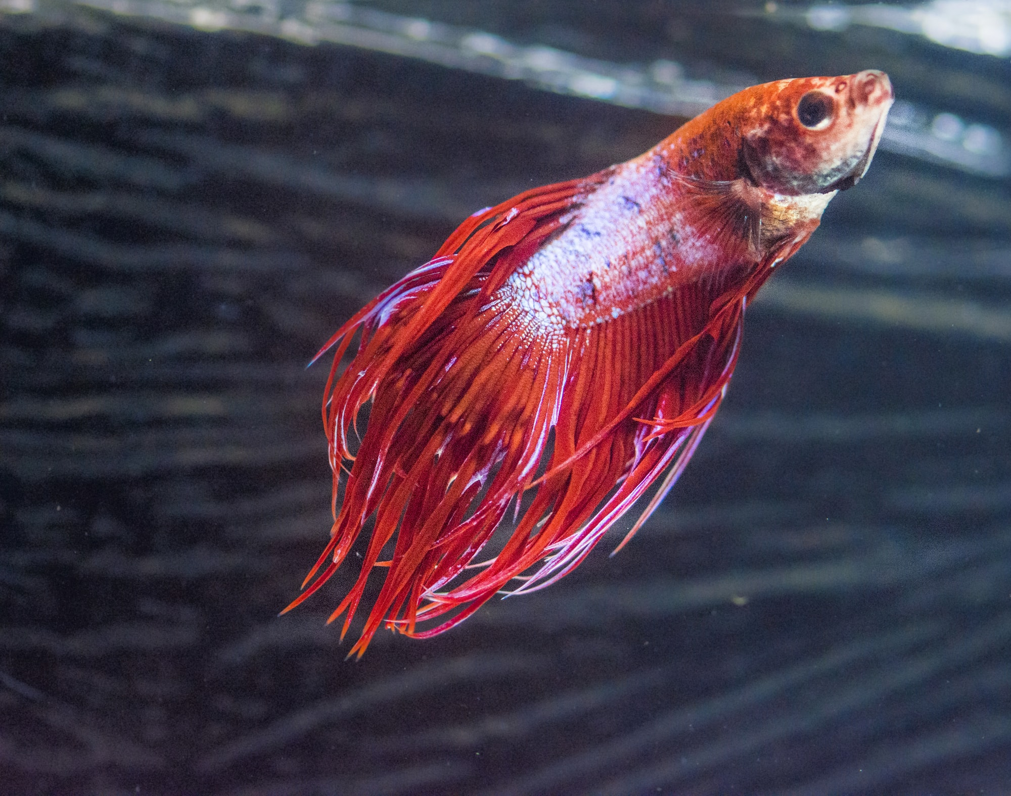 betta fish decoloration