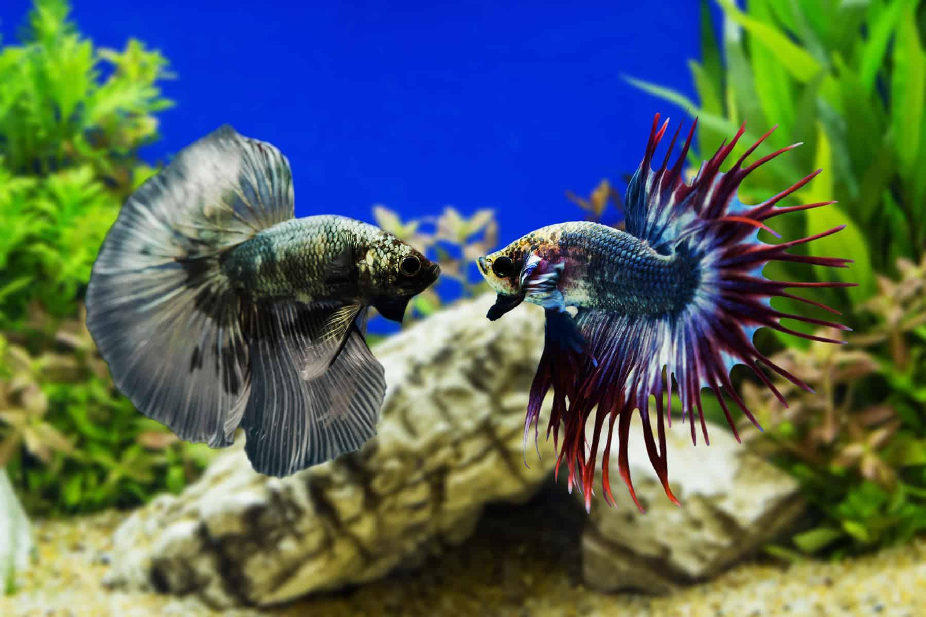betta fish fighting in an aquarium