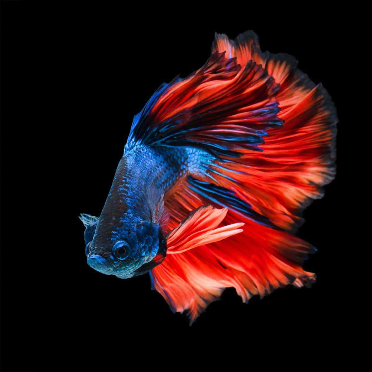 betta fish flaring the gills