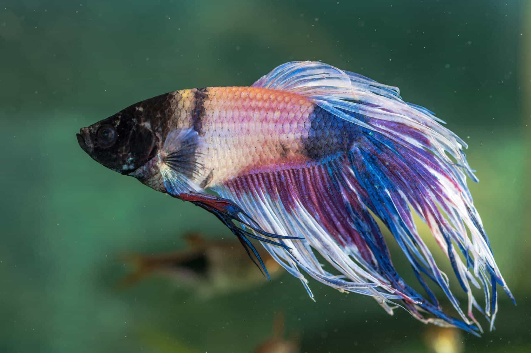 betta fish having seizures