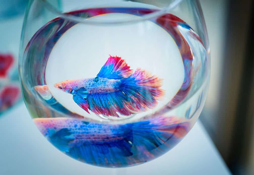 betta fish in a clean tank