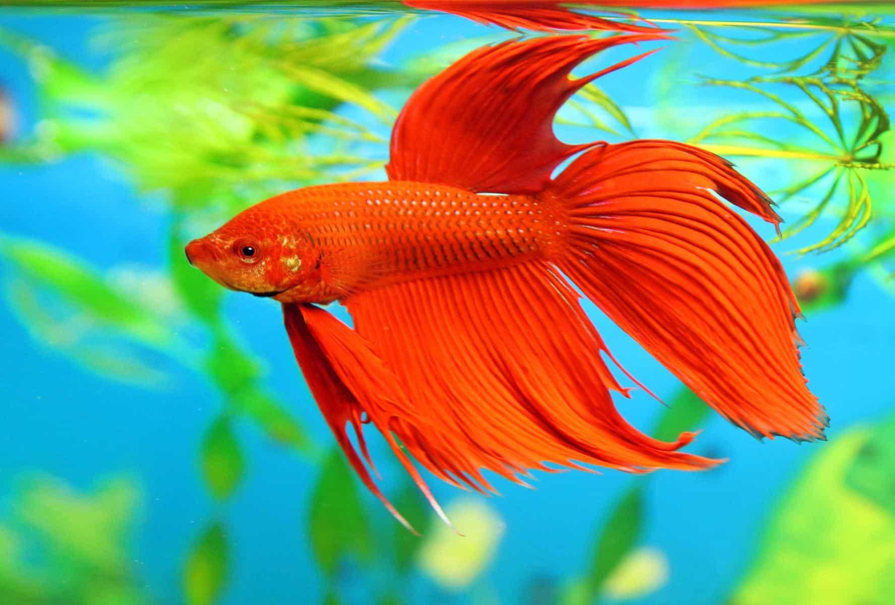 betta fish in aquarium full of lights