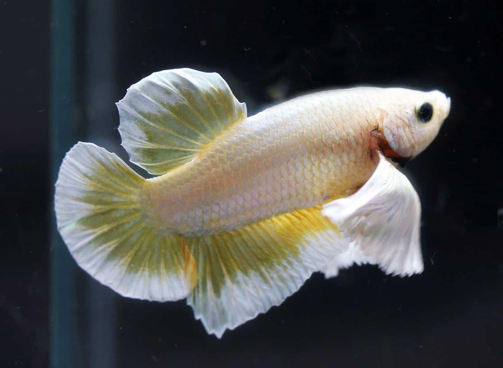 betta fish in aquarium with lighting