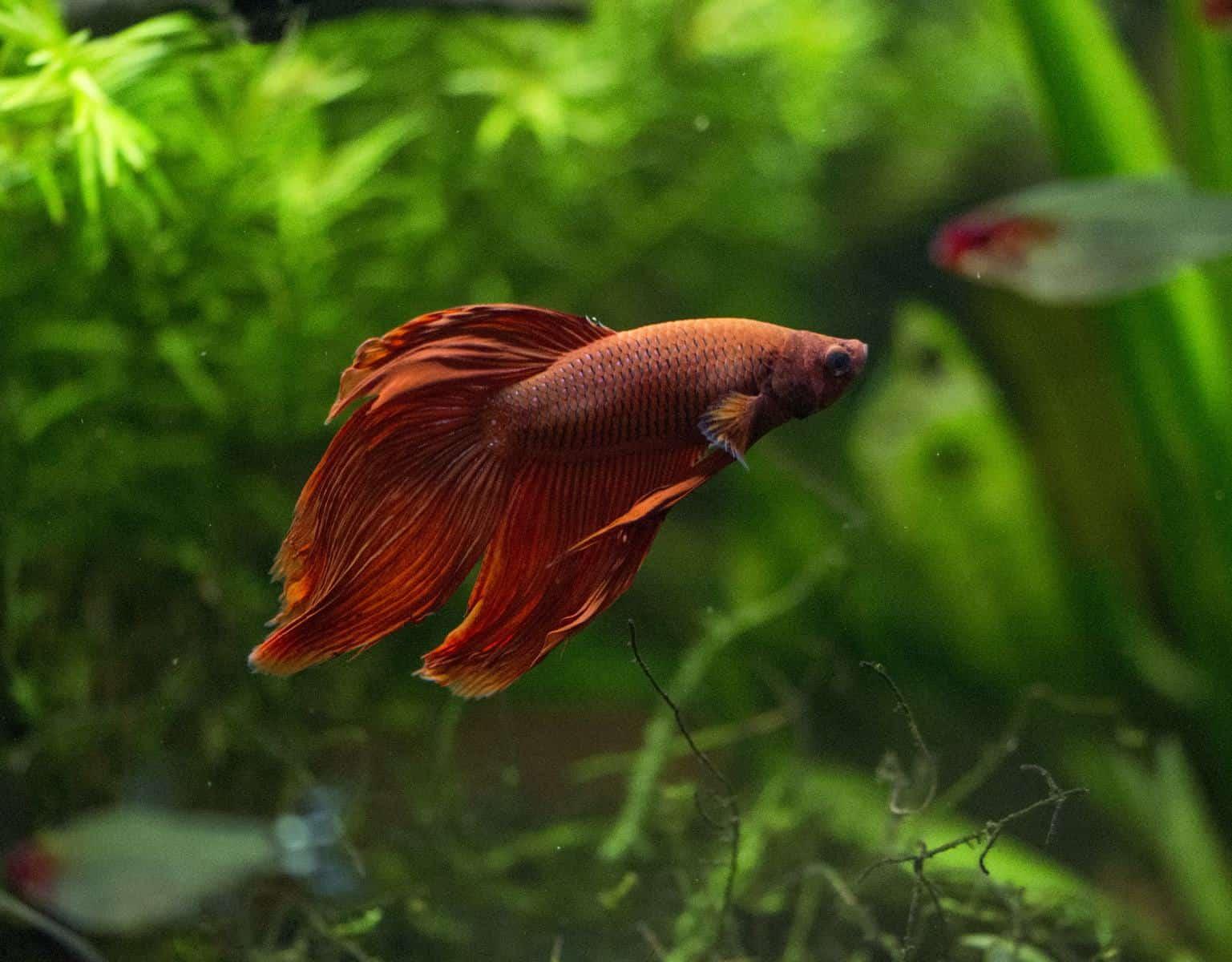 betta fish in aquarium