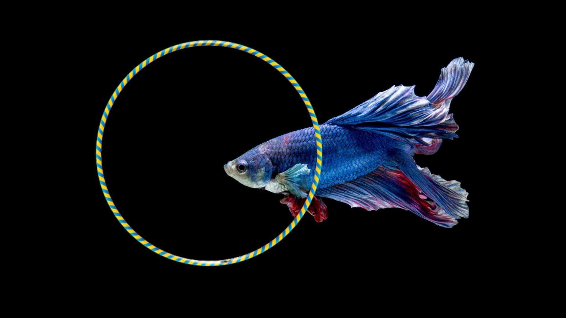 betta fish playing in hoop